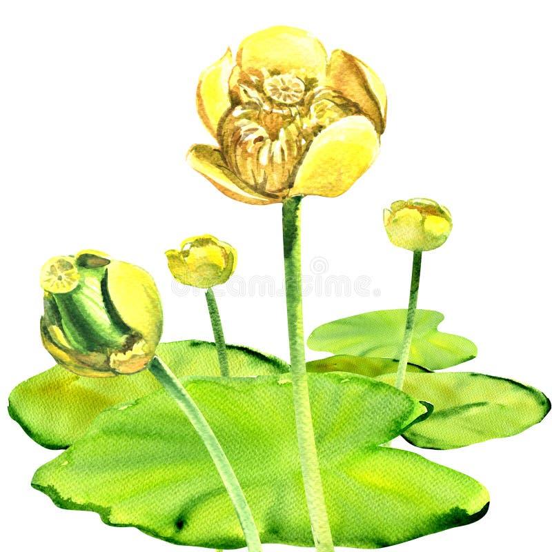 黄色水百合花,黄睡莲lutea,被隔绝,水彩例证 皇族释放例证