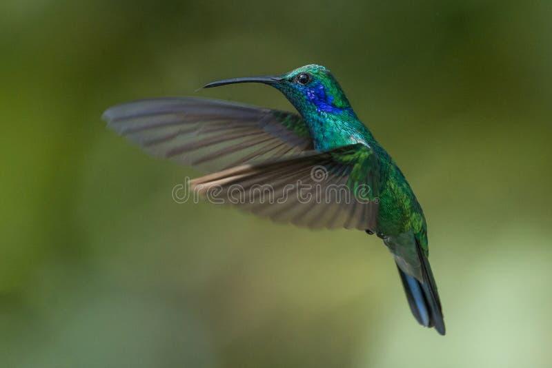 绿色紫罗兰色耳朵蜂鸟在哥斯达黎加 免版税库存图片