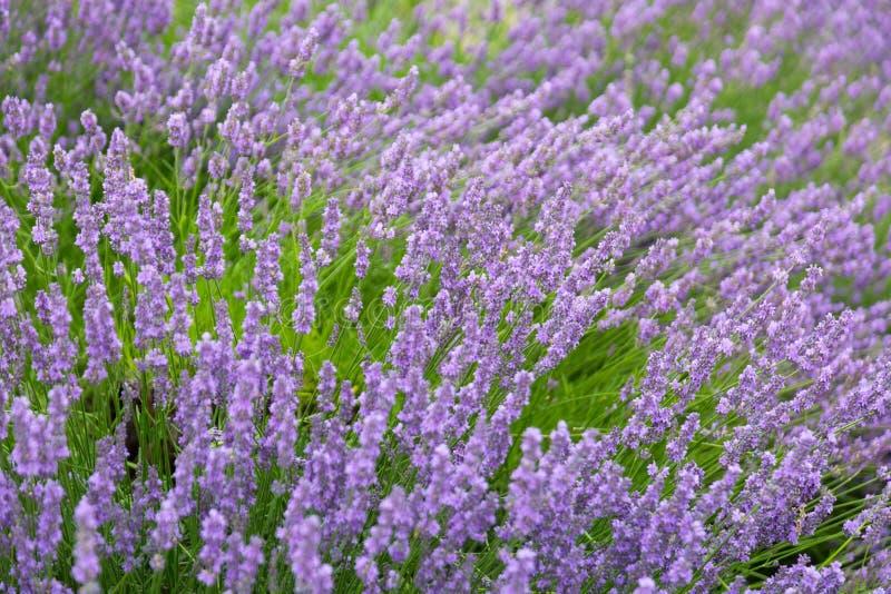 紫色紫罗兰色颜色淡紫色花田 免版税库存照片
