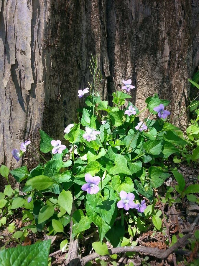 紫色紫罗兰 免版税库存照片