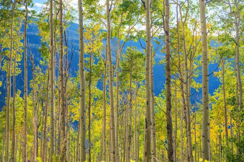 绿色黄色亚斯本树 库存图片