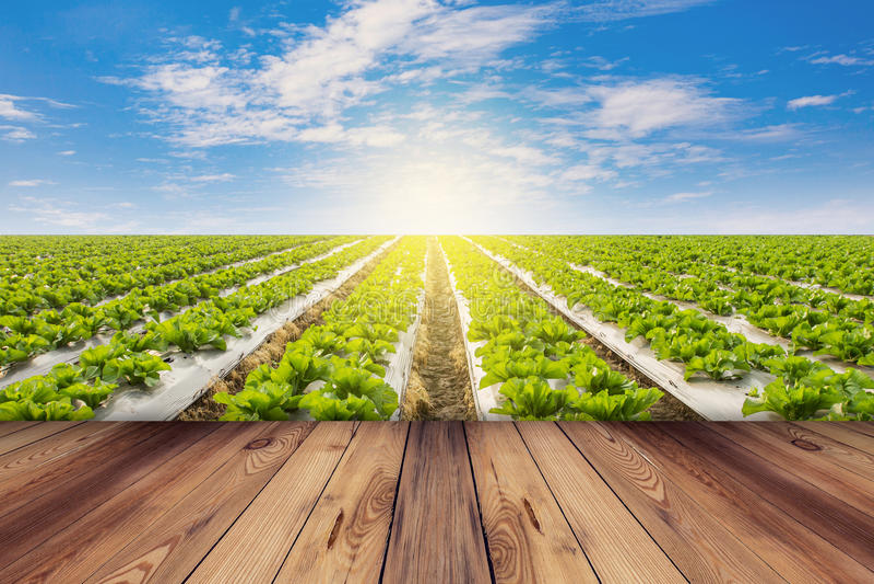 绿色莴苣和木地板在领域农业与蓝天 免版税库存图片