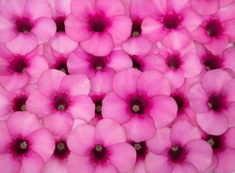 紫色黄蔓桃红色黄蔓cathartica背景 免版税图库摄影