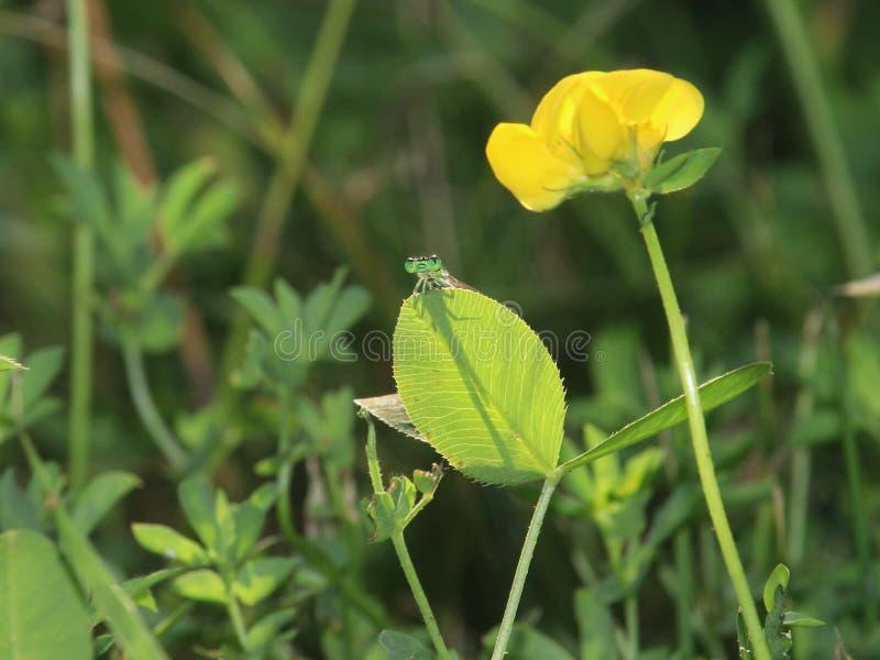 绿色蜻蜓和黄色花 库存照片