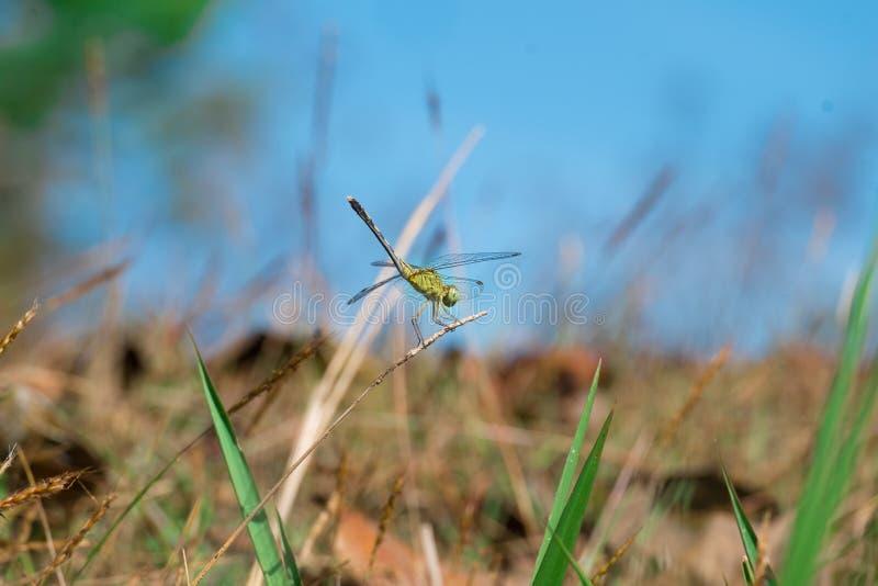 绿色蜻蜓的边 免版税库存图片