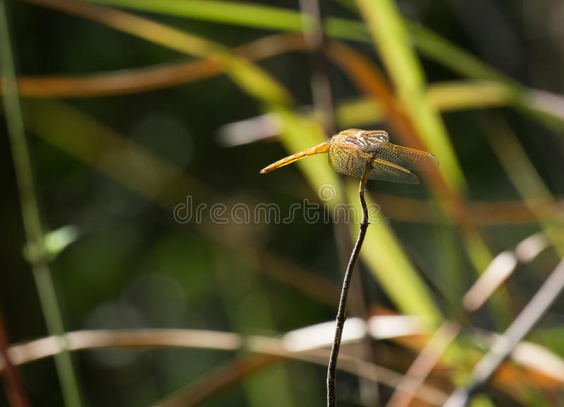 黄色蜻蜓的边 免版税库存图片