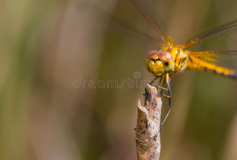 黄色蜻蜓的面孔 图库摄影
