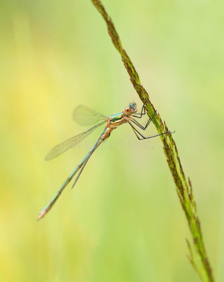 绿色蜻蜓 库存图片