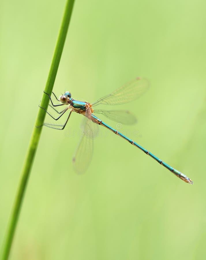 绿色蜻蜓 图库摄影