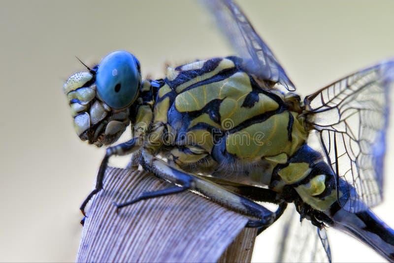 黑黄色蜻蜓anax imperator 免版税库存图片
