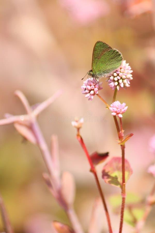 绿色蝴蝶坐一朵紫色花 免版税图库摄影