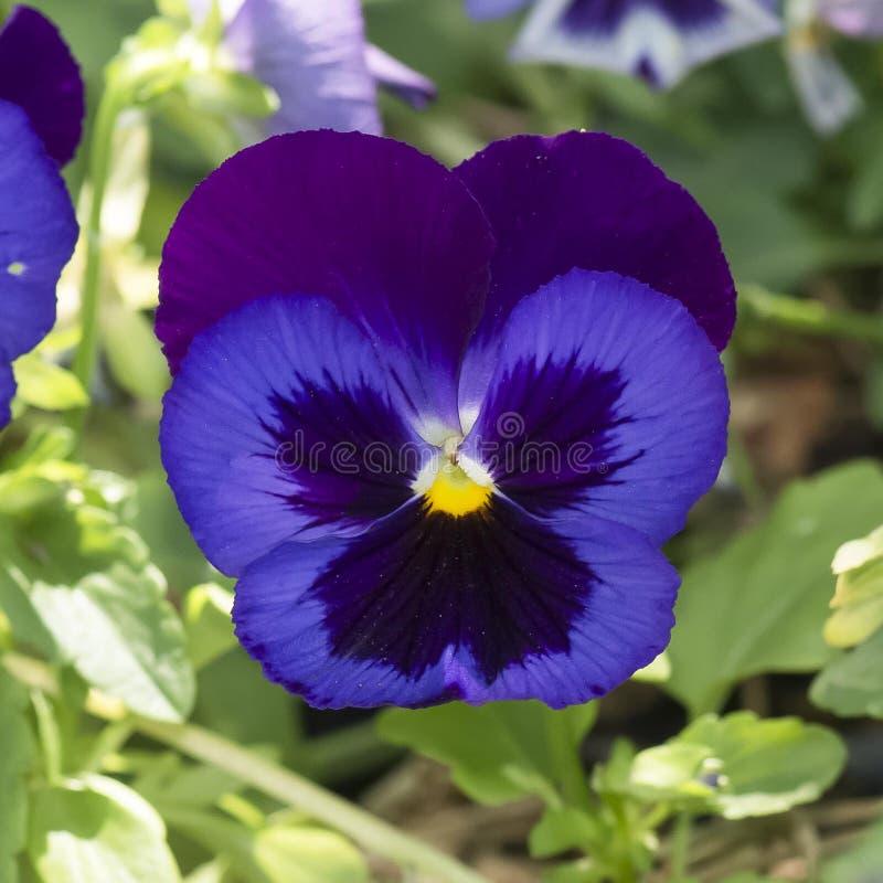 紫色蝴蝶花 免版税图库摄影