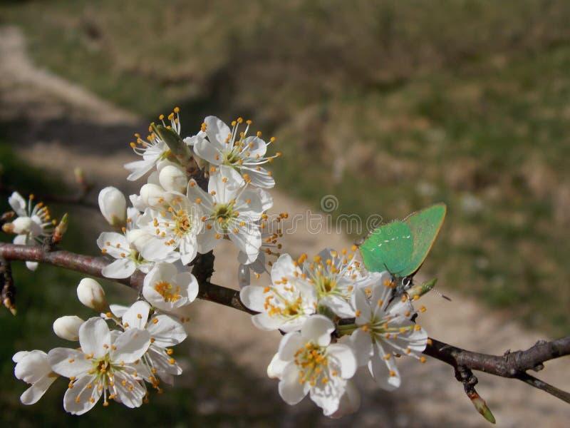 绿色蝴蝶 免版税图库摄影