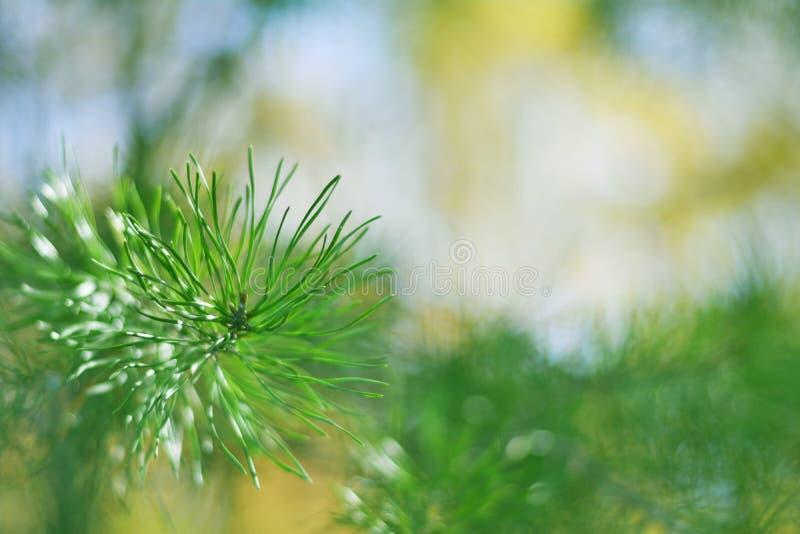 绿色幻觉-针叶树树叶子 免版税库存照片