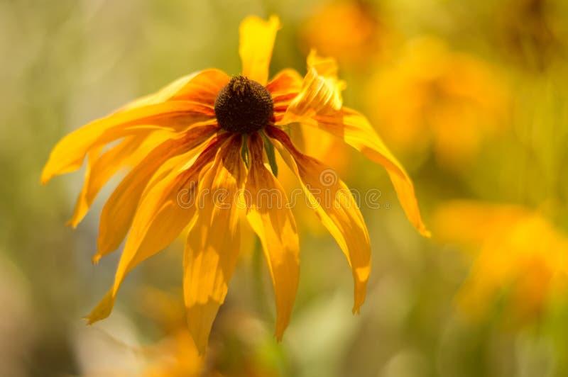 黄色黄金菊特写镜头在庭院里 图库摄影