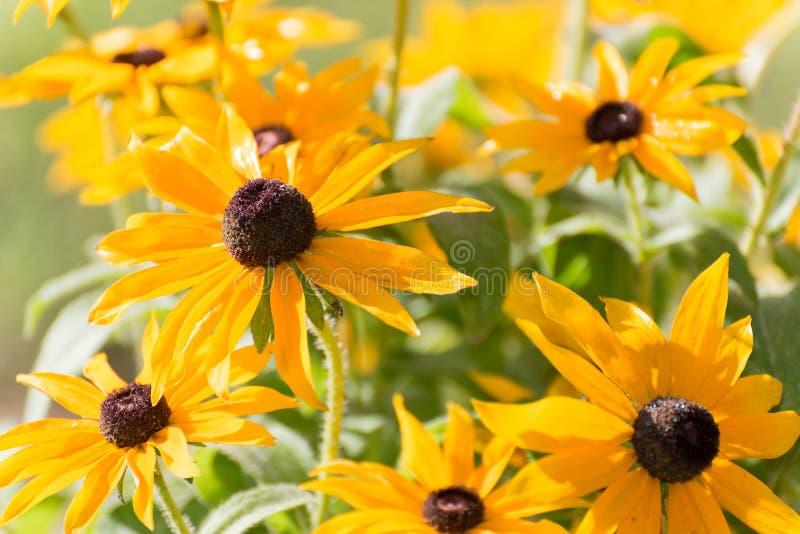 黄色黄金菊花在庭院里 免版税库存照片