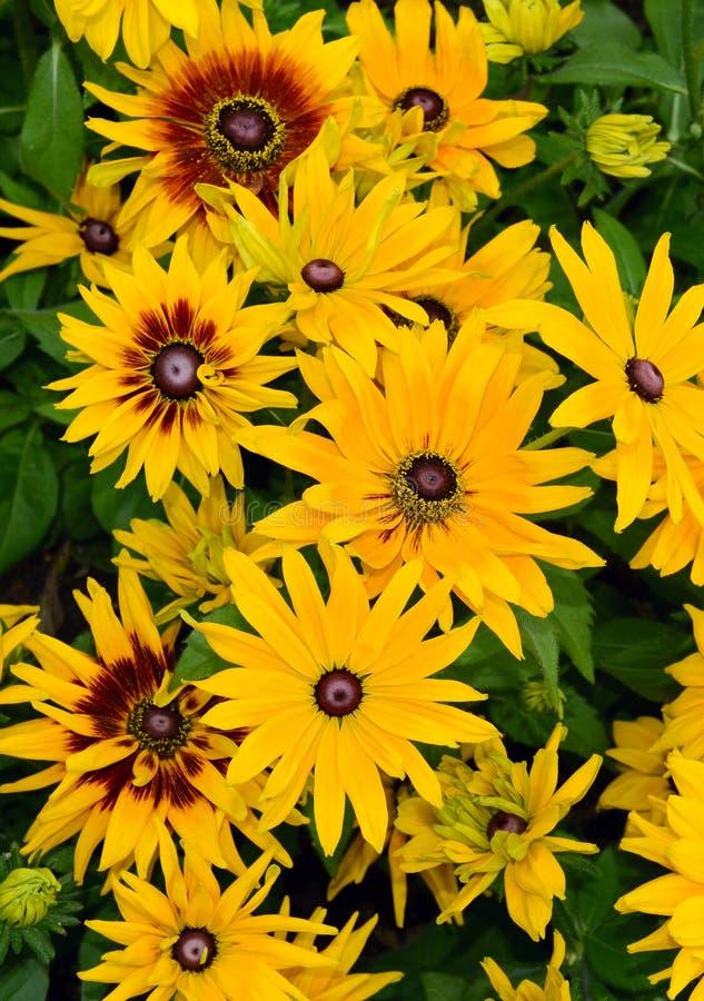 黄色黄金菊黑眼睛的苏珊花 图库摄影