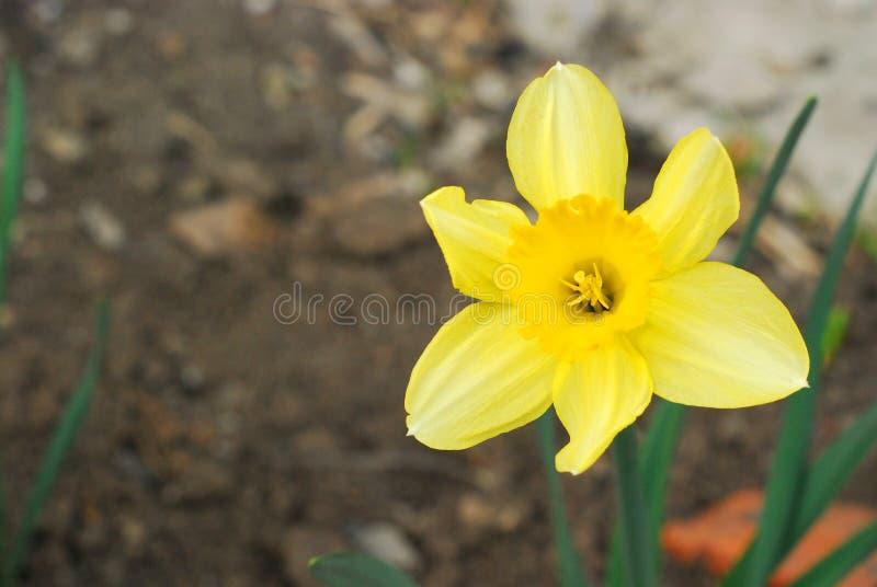 黄色水仙 图库摄影