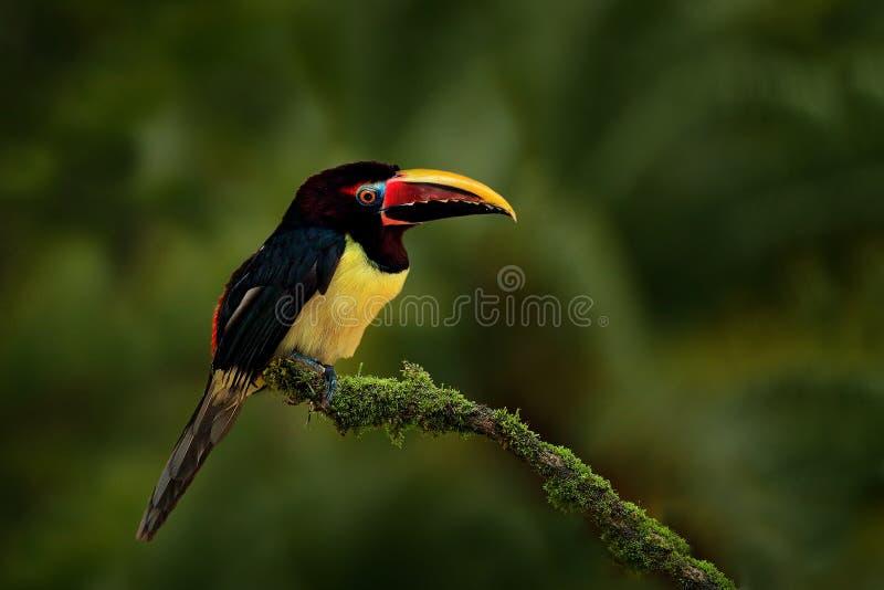 绿色Aracari, Pteroglossus viridis,黄色和黑小touc 库存照片