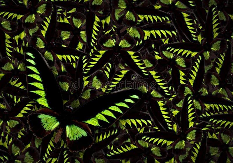 黑色brookiana蝴蝶绿色trogonoptera 库存例证