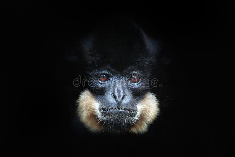 黄色cheeked长臂猿, Nomascus gabriellae,野生猴子细节画象  艺术观点的美丽的动物 黑暗的森林野生生物sce 库存图片