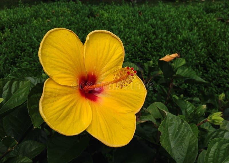 黄色flover 免版税库存照片