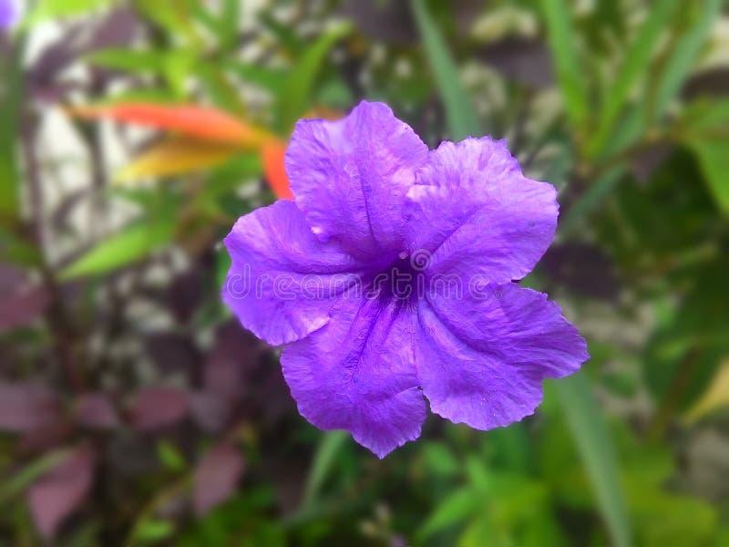 紫色fower 免版税库存图片