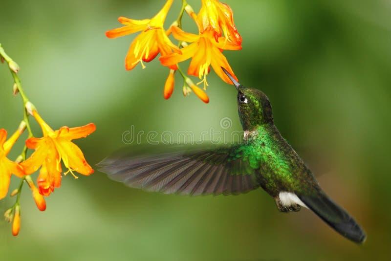 绿色humingbird电气石Sunangel, Heliangelus exortis,飞行在美丽的橙黄花旁边,哥斯达黎加 免版税图库摄影