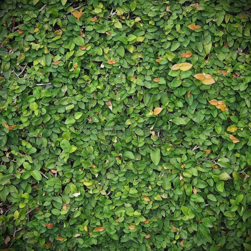 绿色leafe墙壁背景 免版税库存图片
