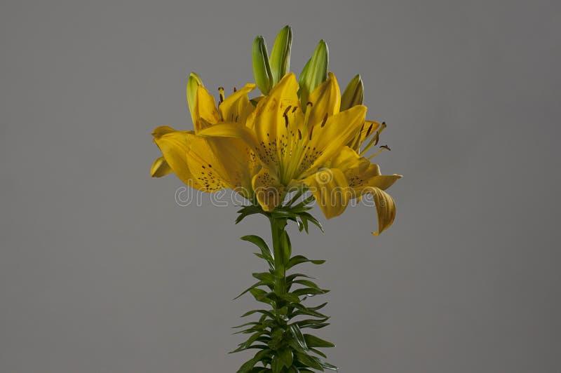 黄色Lillium花 免版税库存照片