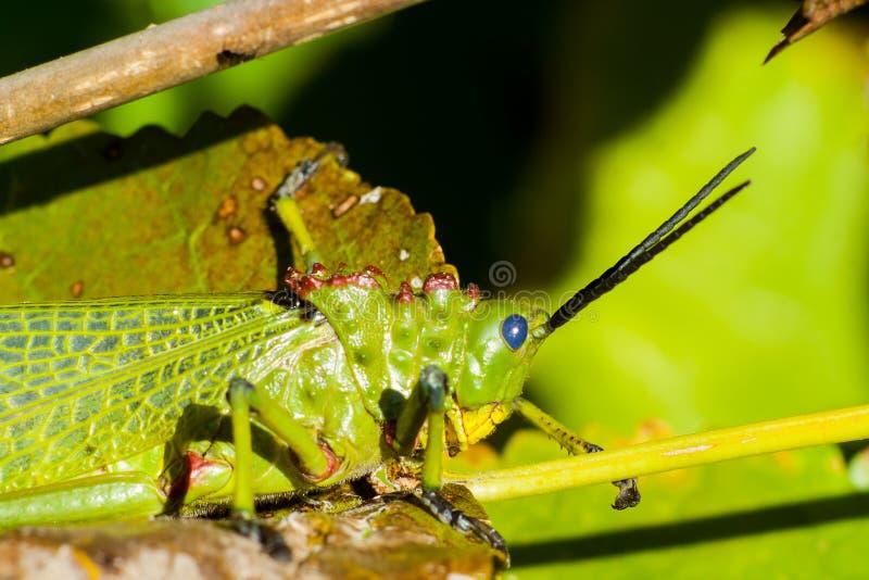 绿色Milkwood蝗虫 库存图片