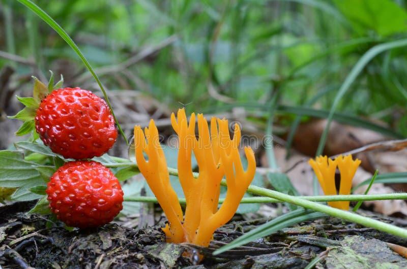 黄色Stagshorn和野草莓 免版税库存照片