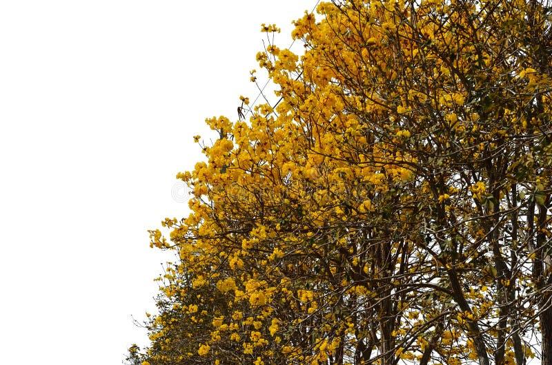 黄色Tabebuia Chrysantha花 图库摄影