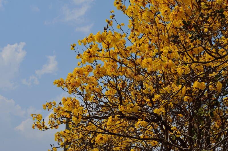黄色Tabebuia Chrysantha花 库存照片