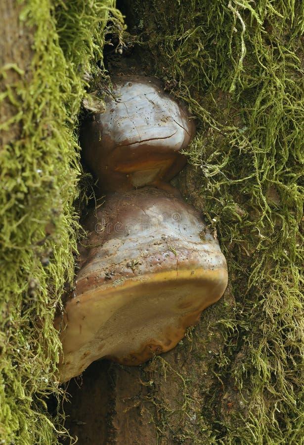 艺术家的真菌 免版税库存照片