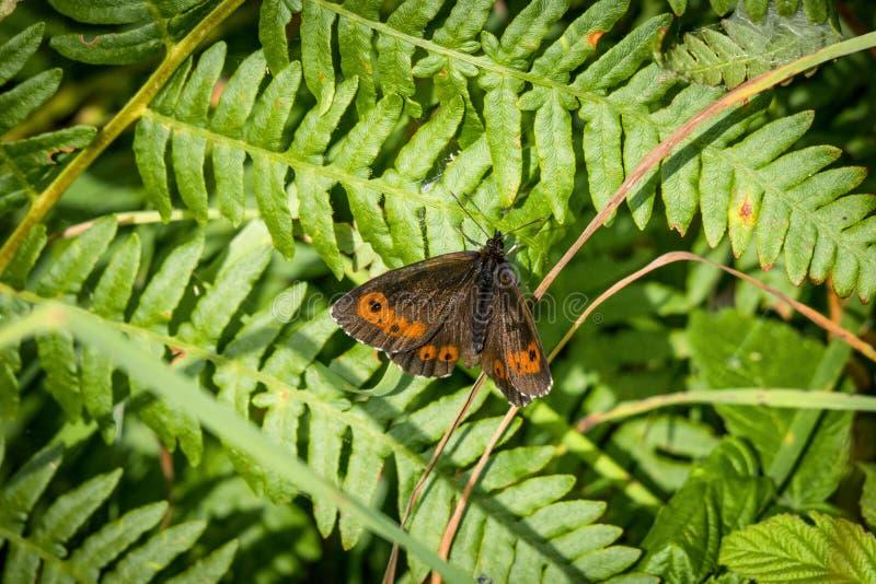 艾伦在一片大绿色叶子的褐色蝴蝶 免版税库存图片