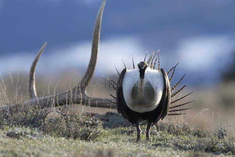 艾草榛鸡和鹿角在联接的高视阔步期间 图库摄影