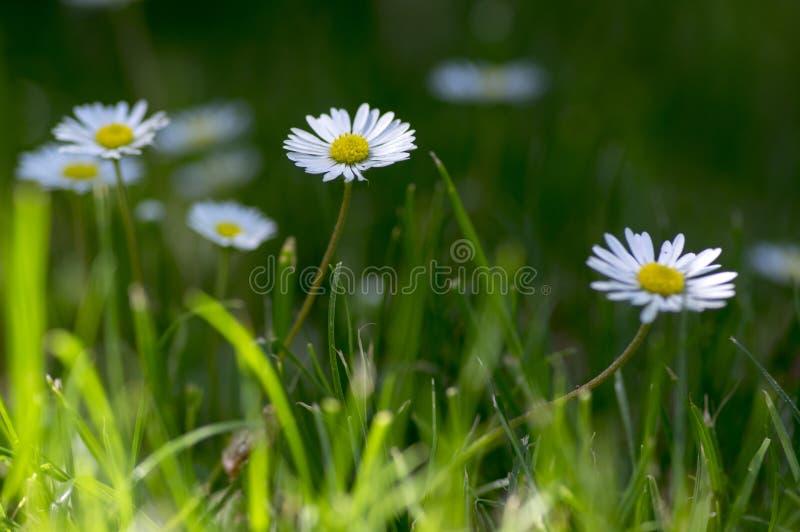 艾里斯perennis在绽放,草坪充分开花雏菊,有白色桃红色瓣的野生美丽的小开花植物 免版税库存图片
