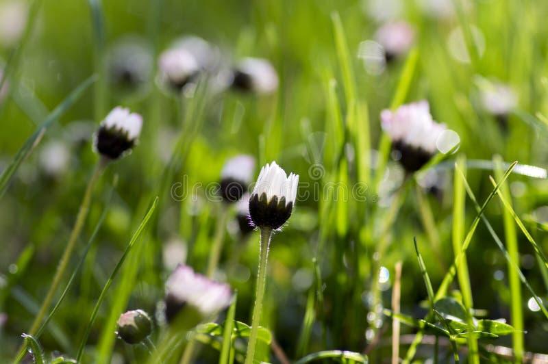艾里斯perennis在绽放,草坪充分开花雏菊,有白色桃红色瓣的野生美丽的小开花植物 免版税库存照片