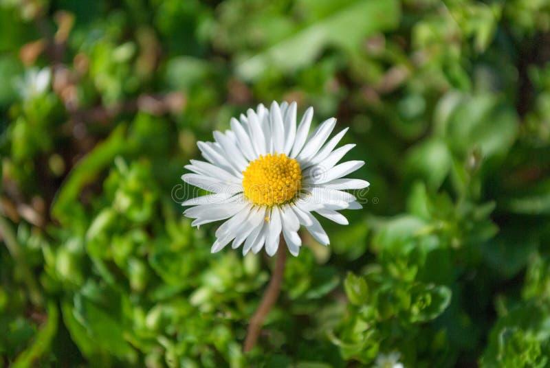 艾里斯perennis或雏菊花在草在晴天本质上 免版税图库摄影