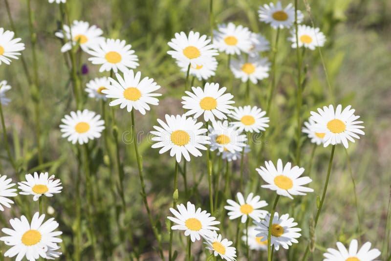 艾里斯perennis,充分放牧白色和黄色雏菊花du 库存照片