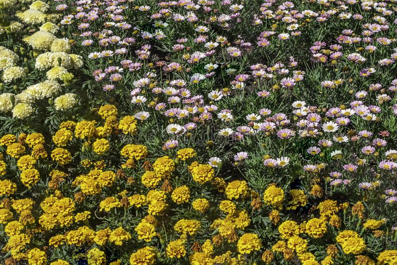 艾里斯perennis,橙色和黄色万寿菊 库存图片