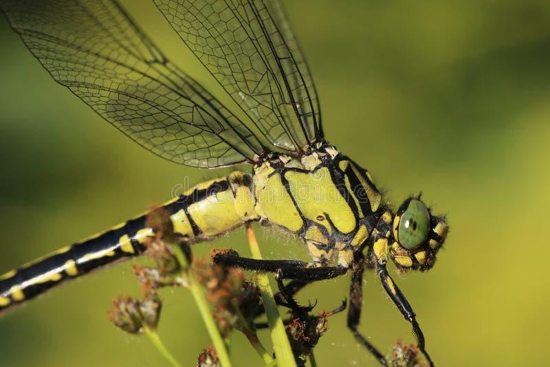细节蜻蜓坐植物 库存照片