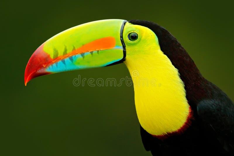 细节画象toucan 比尔toucan画象 与大额嘴的美丽的鸟 toucan 大额嘴鸟坐的Chesnut-mandibled  免版税库存照片