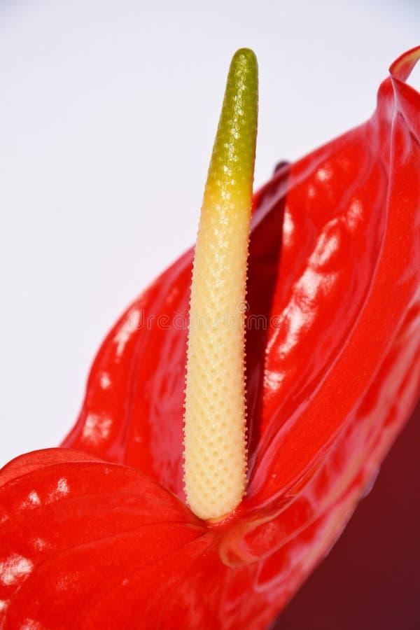 水芋属花,细节 免版税库存照片
