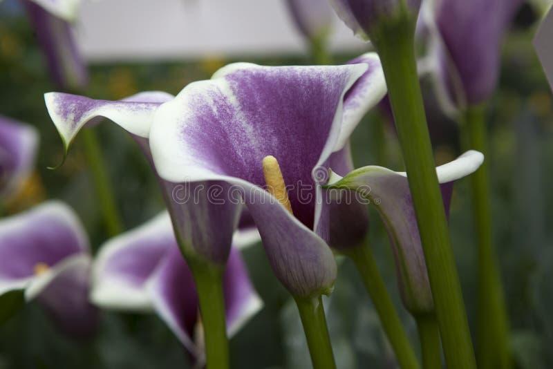 水芋百合电灯泡毕加索,马蹄莲-美国草甸 库存图片