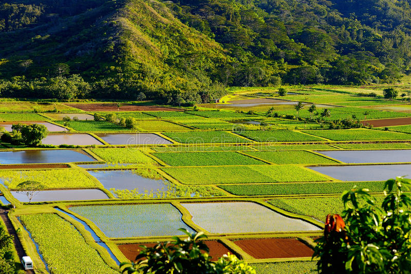 芋头在考艾岛海岛,夏威夷上的美丽的Hanalei谷调遣 免版税库存照片