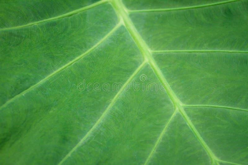 芋esculenta L Schott营养,免疫是利尿的,泻药 库存图片
