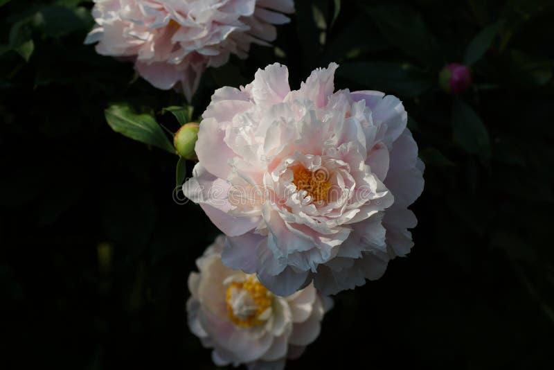 芍药属早晨亲吻 双重桃红色牡丹花 芍药属lactiflora中国牡丹或共同的庭院牡丹 免版税库存图片