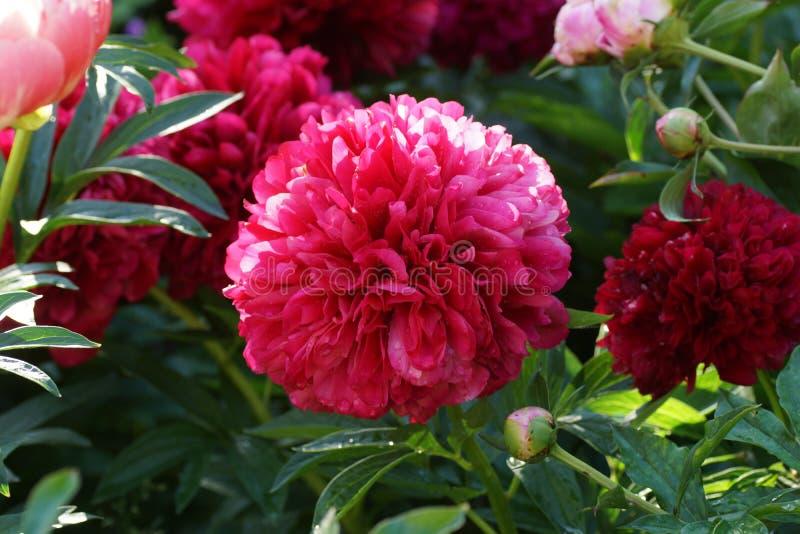 芍药属红色雍容 双重红色牡丹花 芍药属lactiflora中国牡丹或共同的庭院牡丹 免版税库存照片
